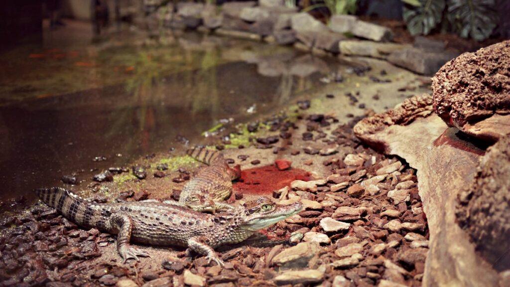 belgia co zobaczyc pairi daiza mini aligator