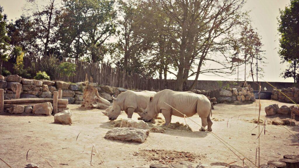 wakacje z dziecmi w belgii pairi daiza nosorozce