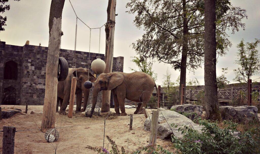 wakacje z dziecmi w belgii pairi daiza slonie indyjskie