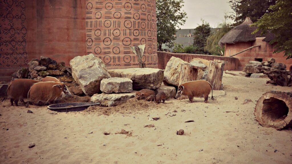 wakacje z dziecmi w belgii park pairi daiza swinia afrykańska pumba