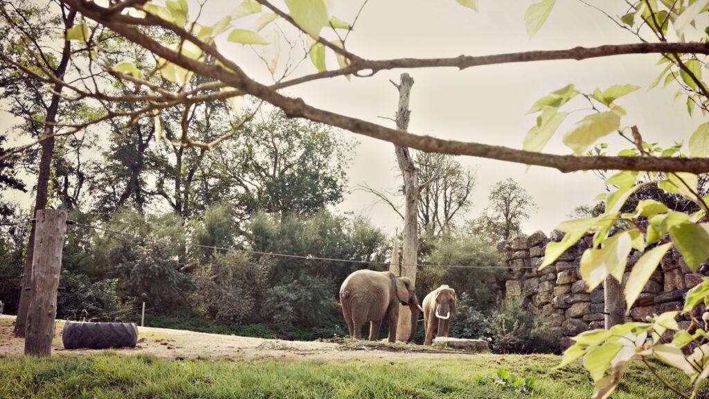 zoo pairi daiza afrykanskie slonie