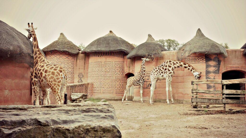 zoo pairi daiza zyrafa