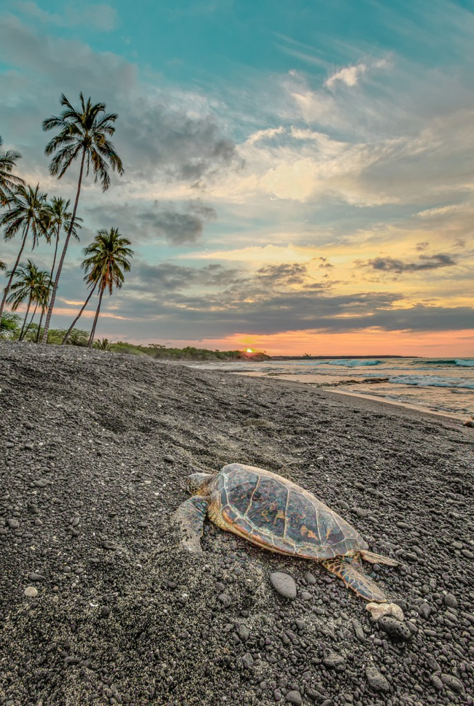 Żółw Honu w Polinezji Francuskiej