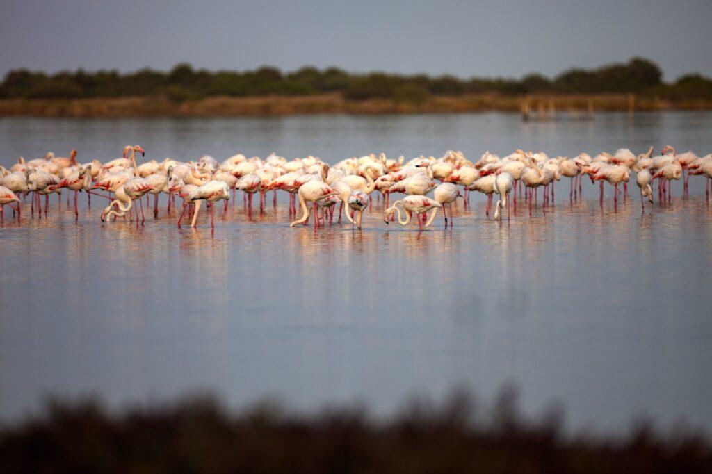 Ciekawostki o Sardynii. Flamingi na Sardynii.