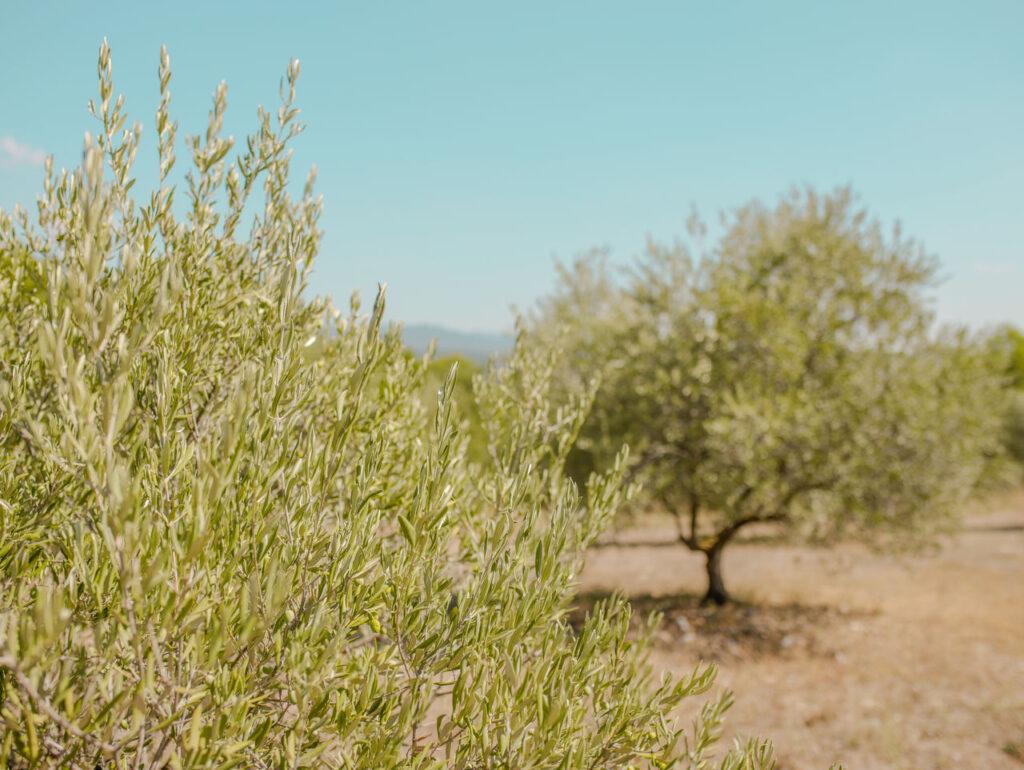 Gaje oliwne w Prowansji