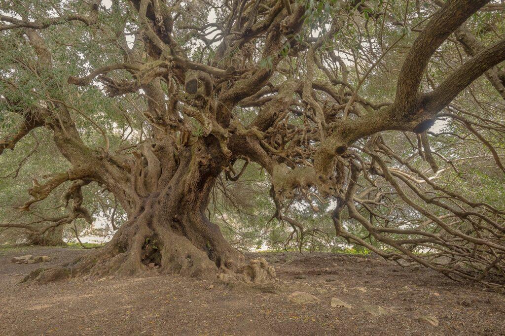 najstarsze drzew we wloszech sardynia ciekawostki ozzastru