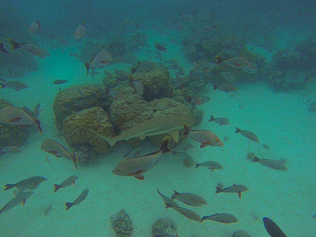 Rekin szary w Polinezji Francuskiej