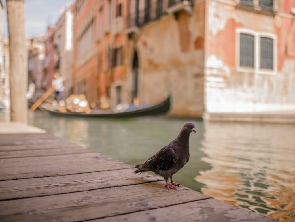 wenecja golebie