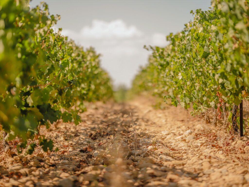 Winnice w Prowansji.